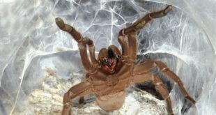 """علماء يحققون اكتشافا كبيرا و""""غريبا"""" باستخدام سم """"عنكبوت صيني شديد العدوانية"""""""